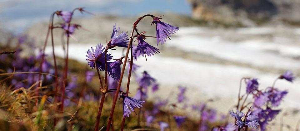 Fiori viola spuntano da una distesa innevata delle Dolomiti